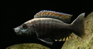 INCREDIBLY BEAUTIFUL TROPICAL AQUARIUM FISH | COPADICHROMIS VIRGINALIS FIRECREST
