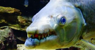 The Top 10 Most Dangerous Aquarium Fish (GIANT FANGS, POISONOUS MUCUS, ELECTRIC SHOCK, AND MORE)